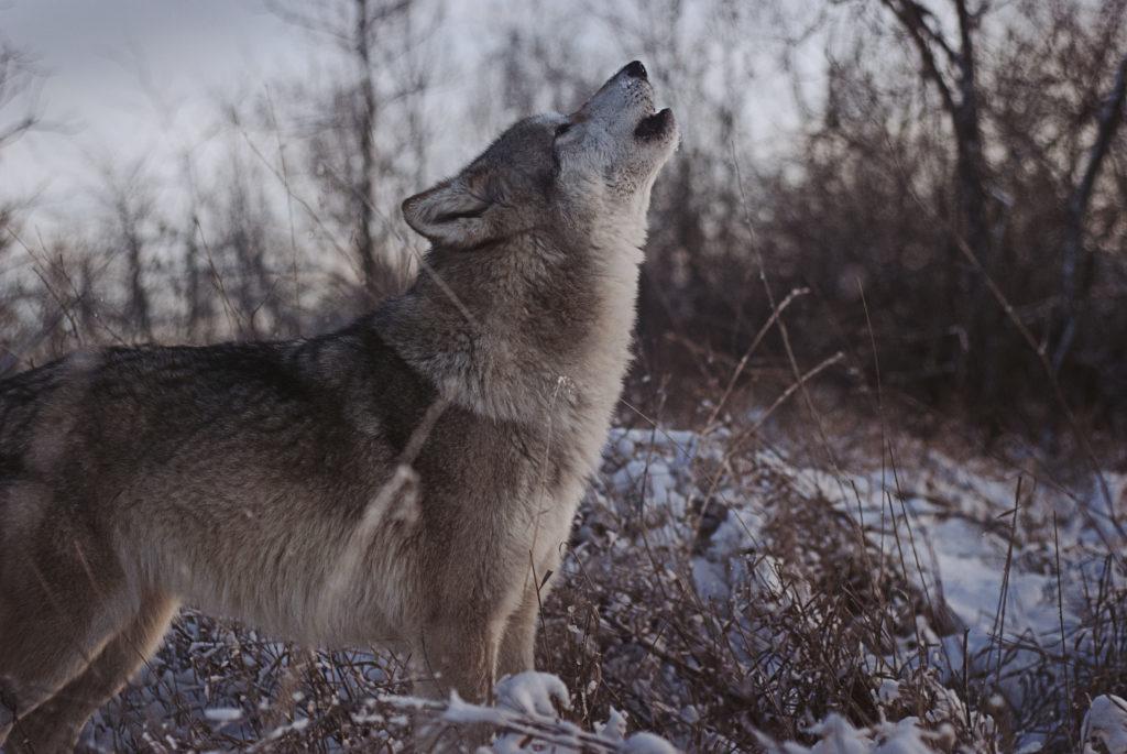 direwolf game of thrones direwolves ice & fire con 2018